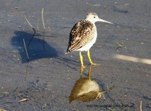 Shadow - Sandpiper - Reflection