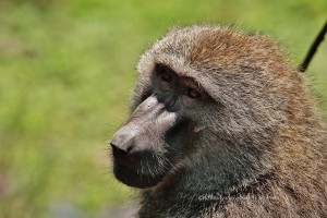 baboon at lake Manyara