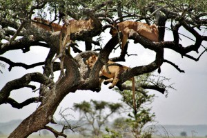 Lions sleeping in tree