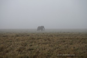 Lonely elephant in the mist- on the Serengeti plains