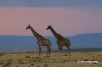 maasai-giraffe-sunset1