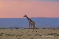 maasai-giraffe-sunset2