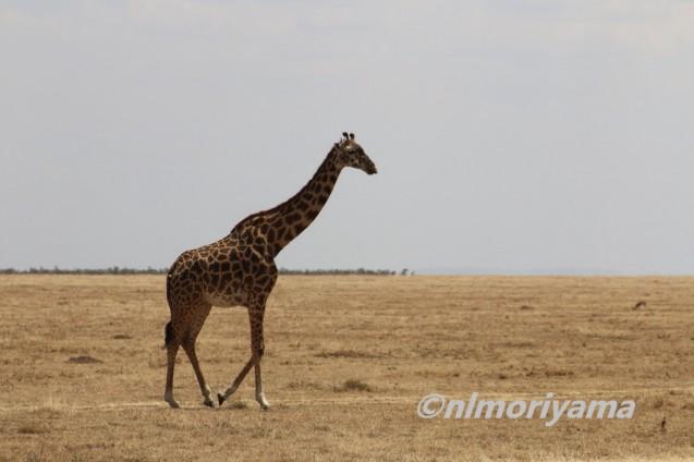 maasai-giraffe