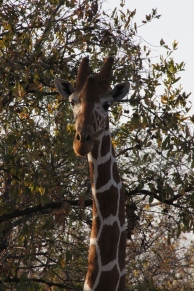 reticulated-giraffe-meru