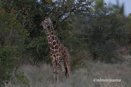 reticulated-giraffe2