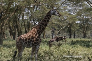 rothschild-giraffe-lake-nakuru